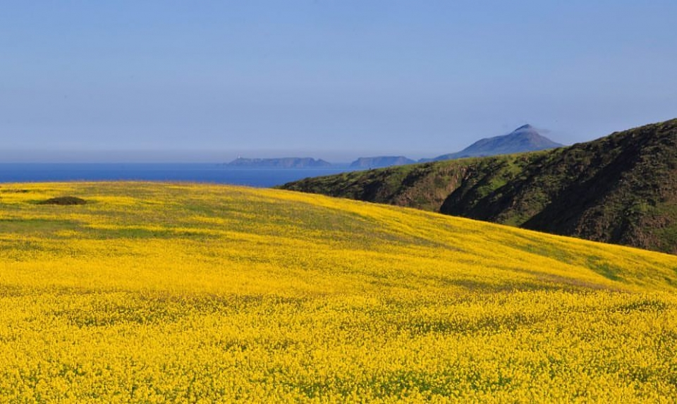 A sea of yellow wildflowers on an island at Channel Islands National Park