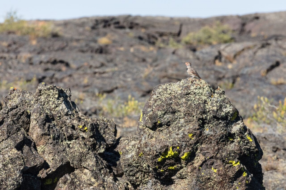 Small brown colaptes auratus sitting on a volcanic rock at Craters of the Moon National Monument & Preserve