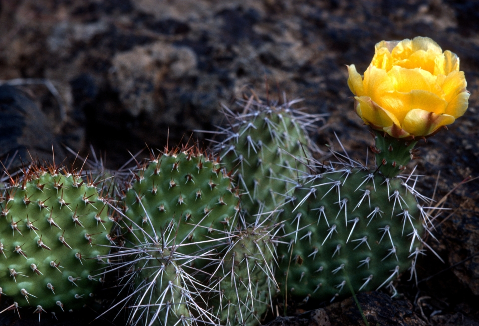 Blossoming prickly pear cactus, with a yellow flower