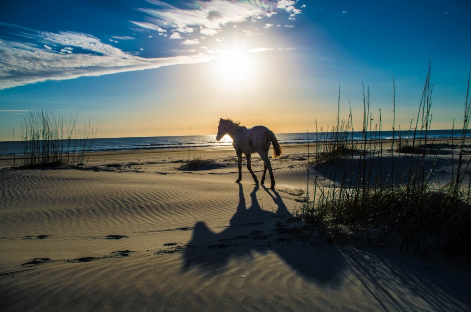 Horse walking on a sandy beach with the sun rising into the blue sky behind it at Cumberland Island National Seashore