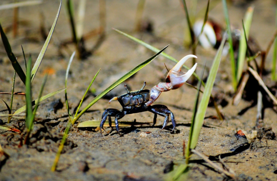 Close-up of a small blue fiddler crab on a sandy beach at Cumberland Island National Seashore