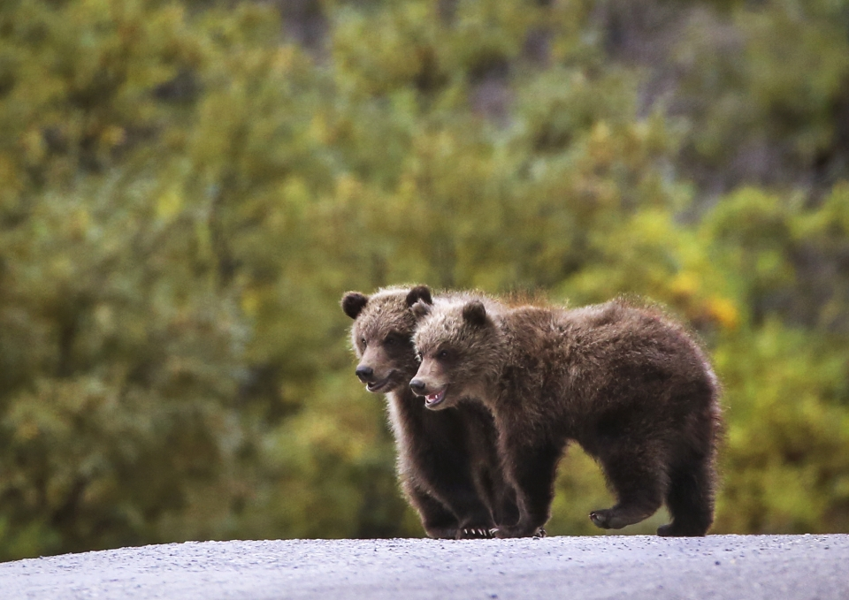 Two small grizzly bear cubs next to each other on a dirt road