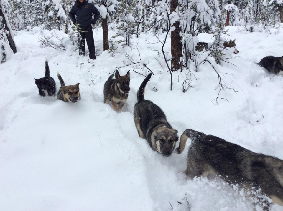 A group of sled dogs walking through deep snow at Denali National Park & Preserve