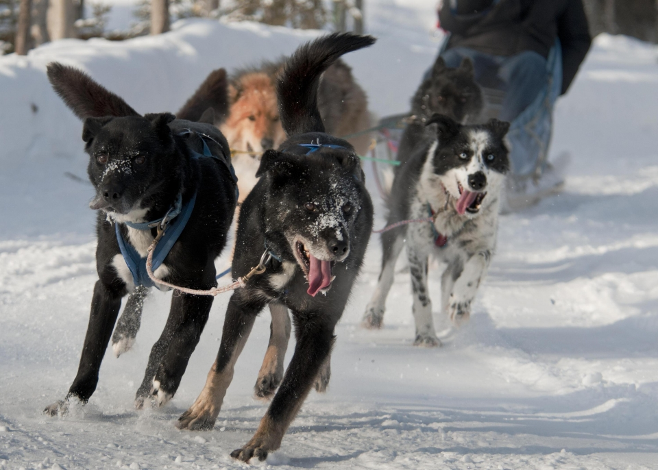 A team of sled dogs pulling a sled running around a curve at Denali National Park & Preserve