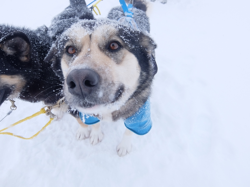 two dogs in harness attached to a sled