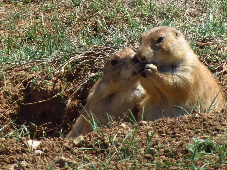 One prairie dog nuzzling another prairie dog at Devils Tower National Monument