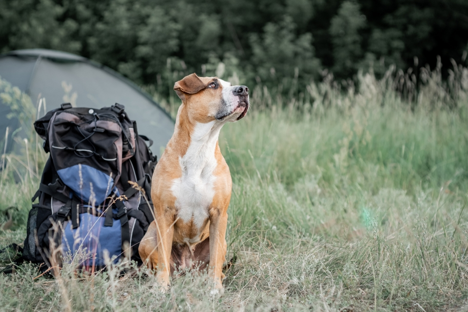 Dog sits next to a backpack at a campsite, a tent is set up in the background