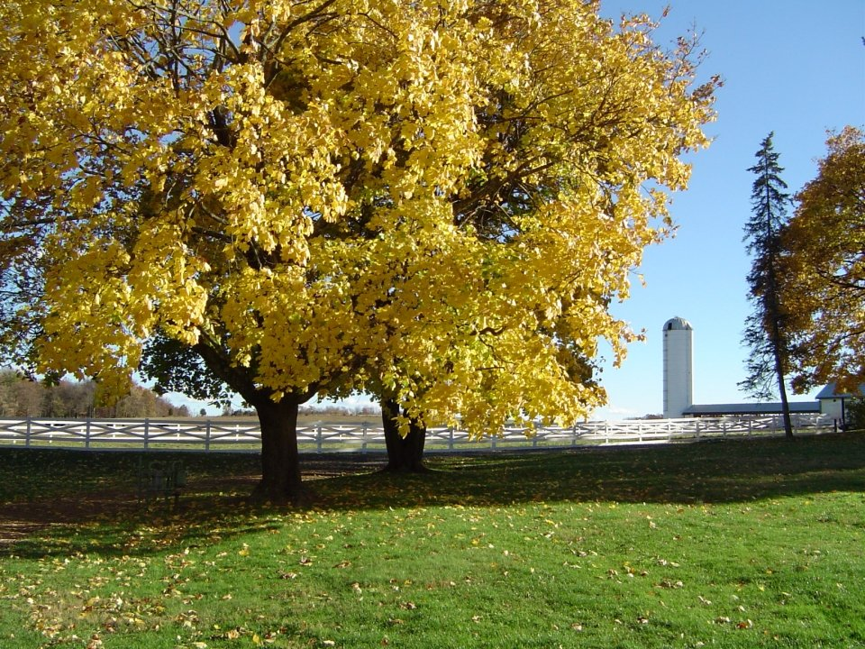 White fence with silo in the background. In front of the fence are two large trees with bright yellow leaves.