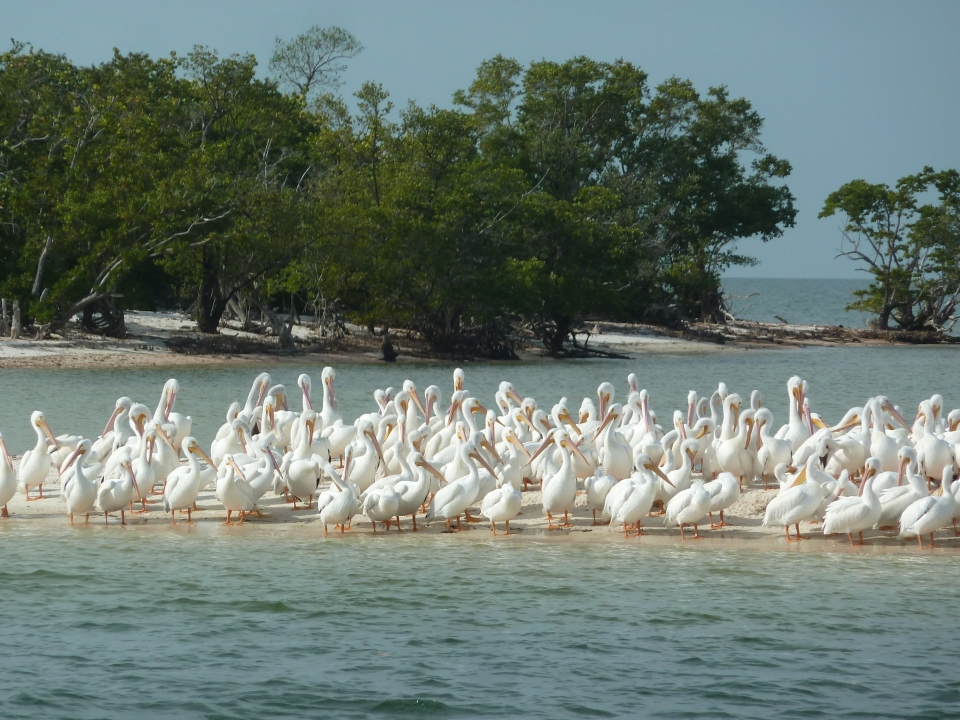 Pelicans gathered on a sand bank at Everglades National Park