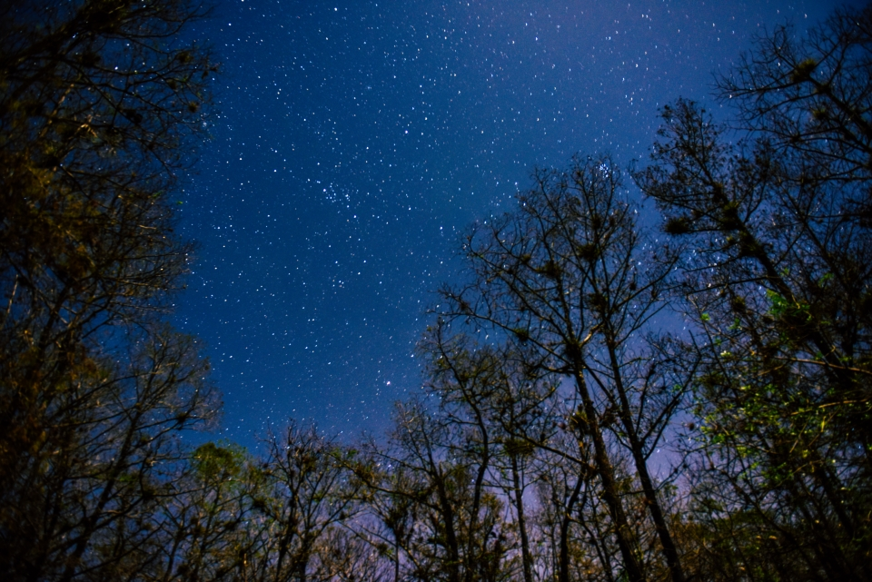 Clear night sky, filled with stars, above tall, thin trees at Everglades National Park
