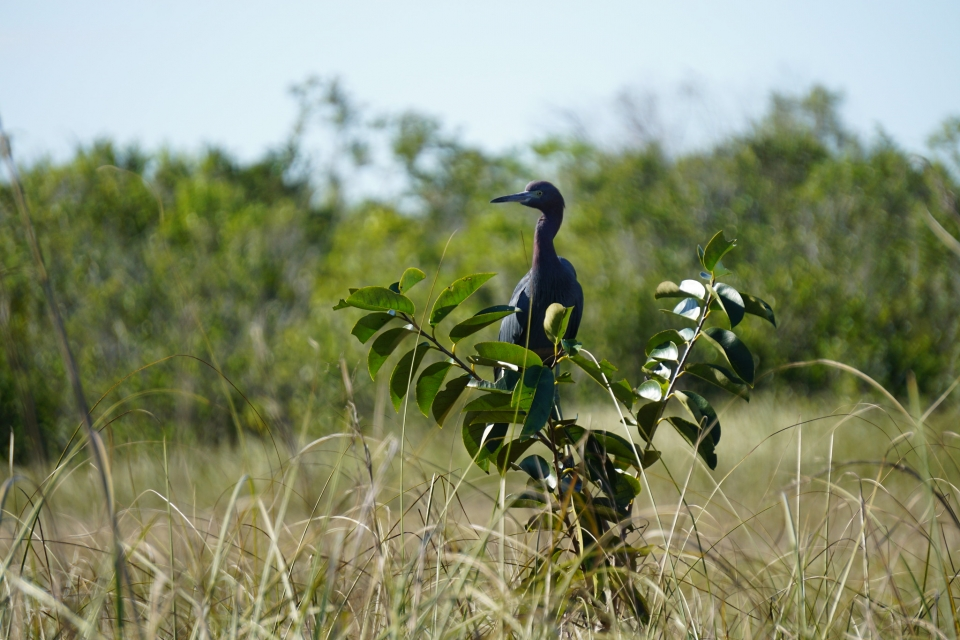 A small blue heron wades in a green marsh