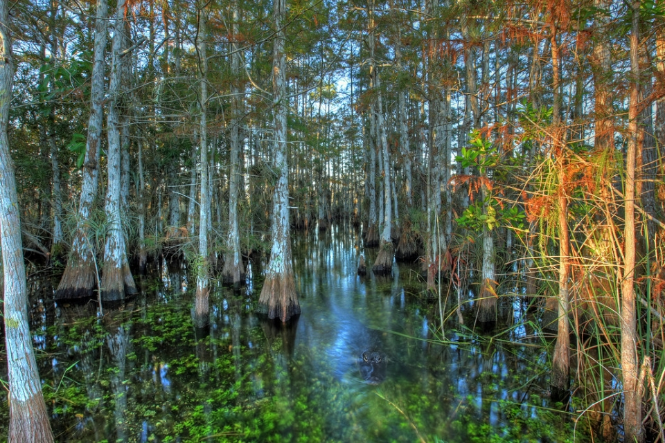 An alligator lurks in the water surrounded by Cypress trees at Everglades National Park