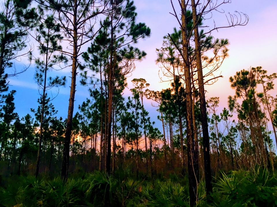 A colorful sunset behind a vast forest of slender, tall trees