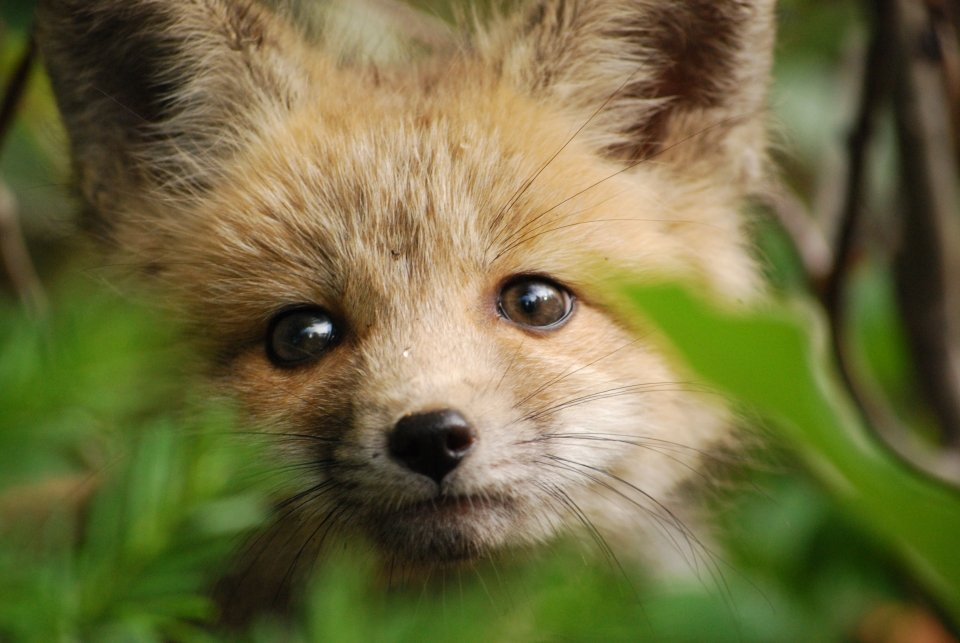 Close-up of a red fox kit at Grand Teton National Park