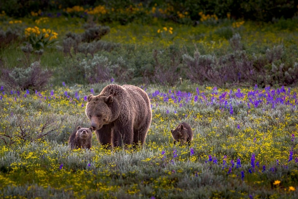 Grizzly bear mother with 2 cubs at Grand Teton National Park