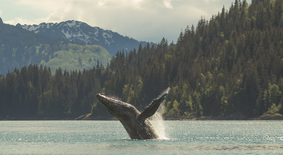 Humpback whale breaching at Glacier Bay National Park and Preserve