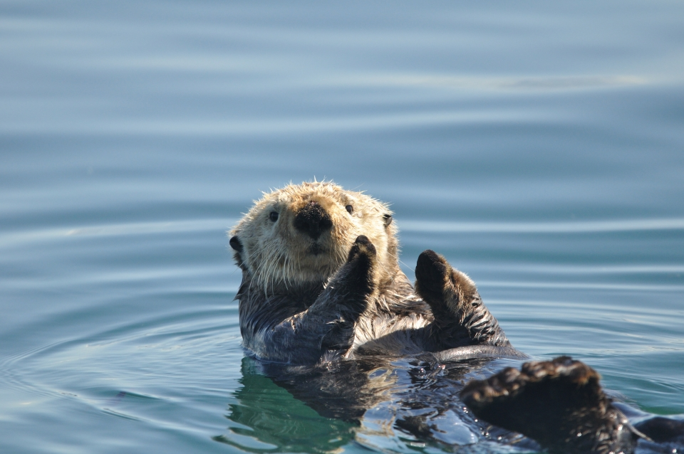 Sea otter floats on its back and holds its front paws close to each other, over its stomach