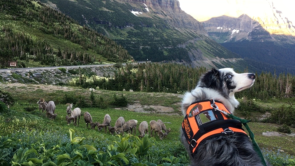 Border collie wearing orange working vest looks back at handler. Eleven bighorn rams graze in the grass below her. Going-to-the-Sun Road is in background.
