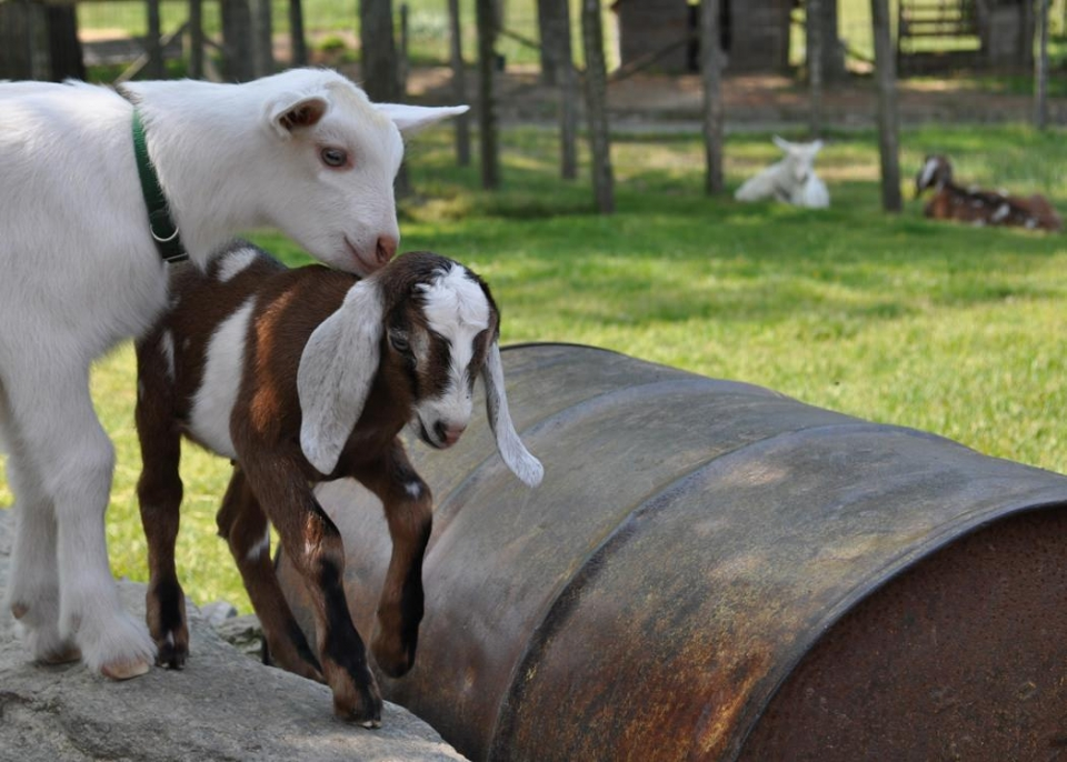Brown and white Nubian goat kid at Carl Sandburg Home