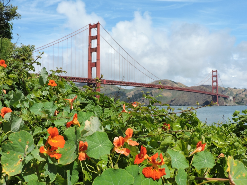 At Golden Gate National Recreation Area, orange bush monkeyflowers bloom amongst large leaves with the Golden Gate Bridge in the background.