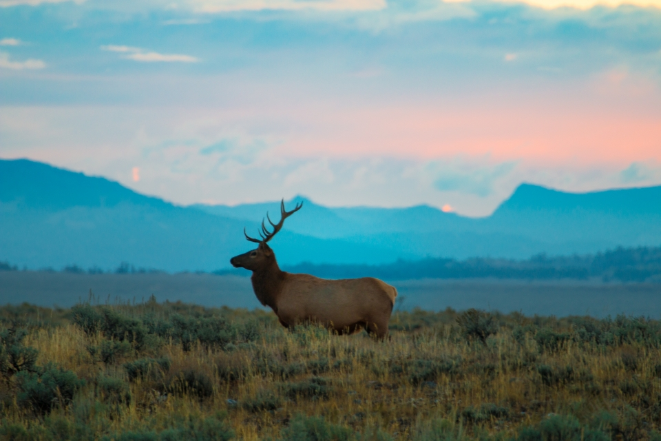Profile of a bull elk with large antlers in front of a mountain range at Grand Teton National Park