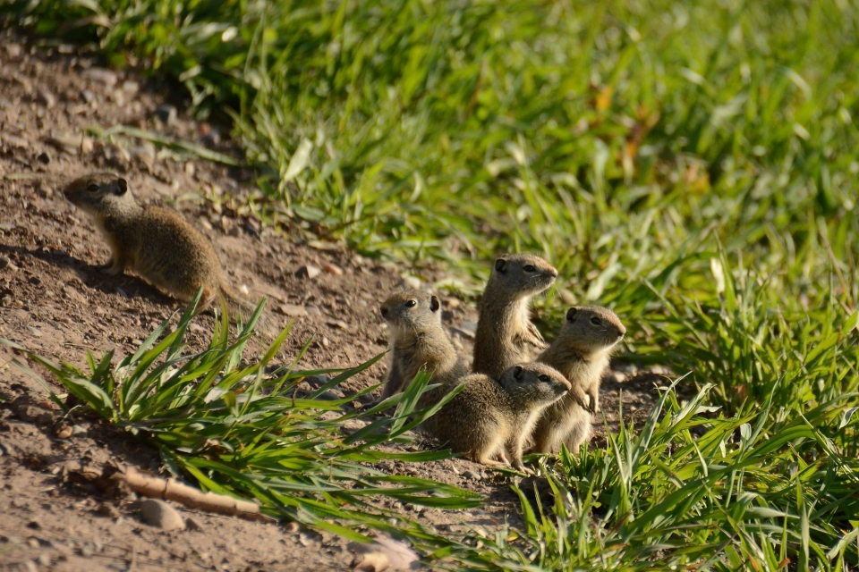 A group of small uinta ground squirrels in a green field
