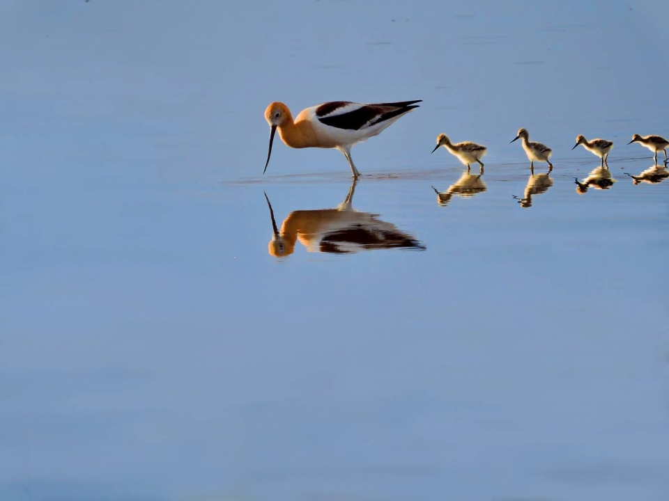 These American avocet fledglings are learning from their mother how to feed in the wetland shallows.