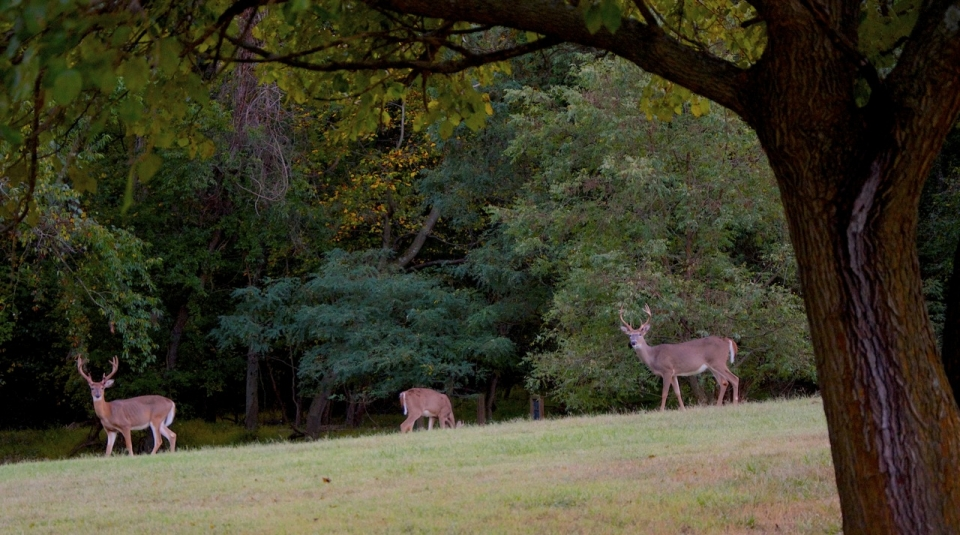 Deer in dense forest of Greenbelt Park, Maryland