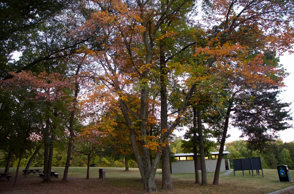 Colorful fall leaves on a tree at the sweetgum picnic area at Greenbelt Park