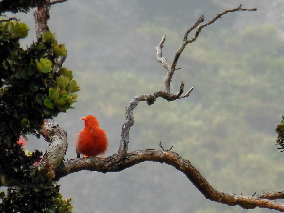 Red scarlet honeycreeper sitting on a branch at Haleakala National Park