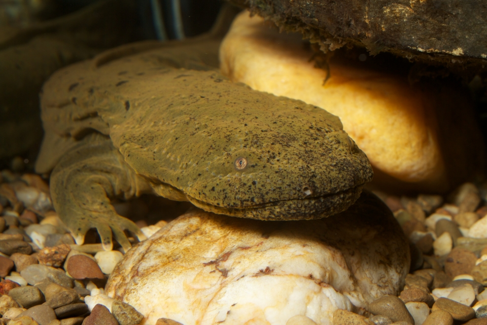 close-up of a hellbender