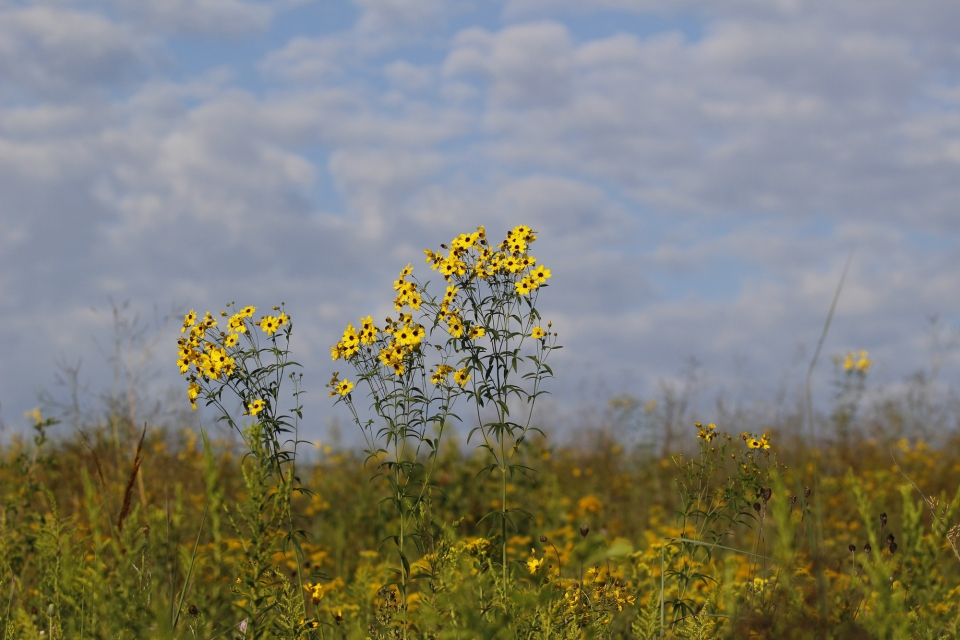 Tall yellow daisy-like flowers bloom in a golden and green grassland