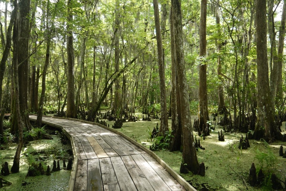 A wooden boardwalk through the green and treed wetlands the Barataria Preserve at Jean Lafitte National Historical Park and Preserve