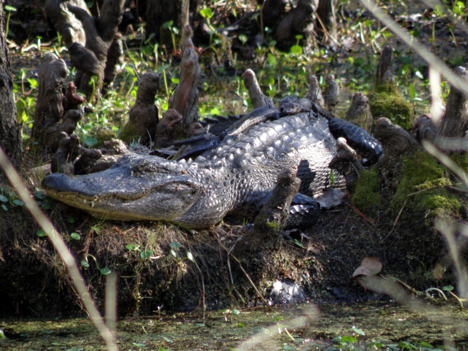 Mother alligator and her babies sunning along the swamp banks in Jean Lafitte National Historical Park and Preserve