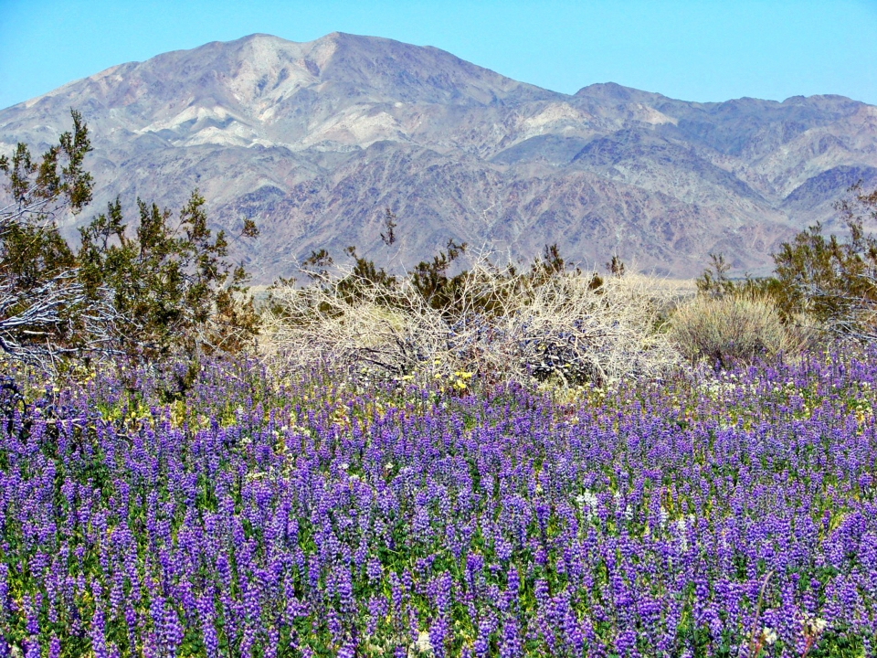 Joshua Tree National Park in bloom
