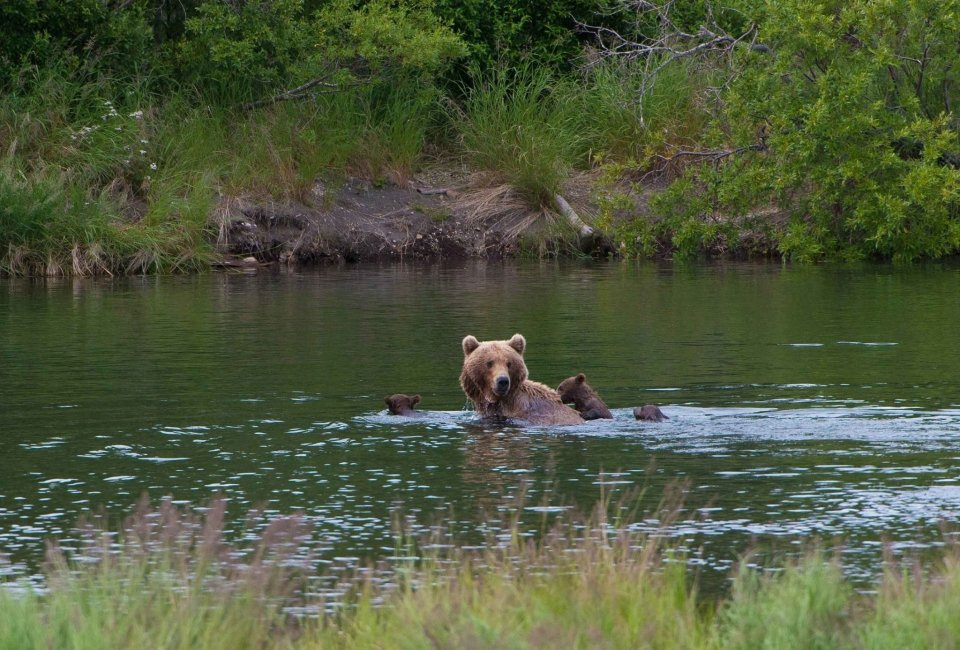 A bear sow and her cubs swimming in a river