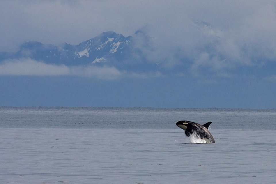 An orca jumps of the water, breaching
