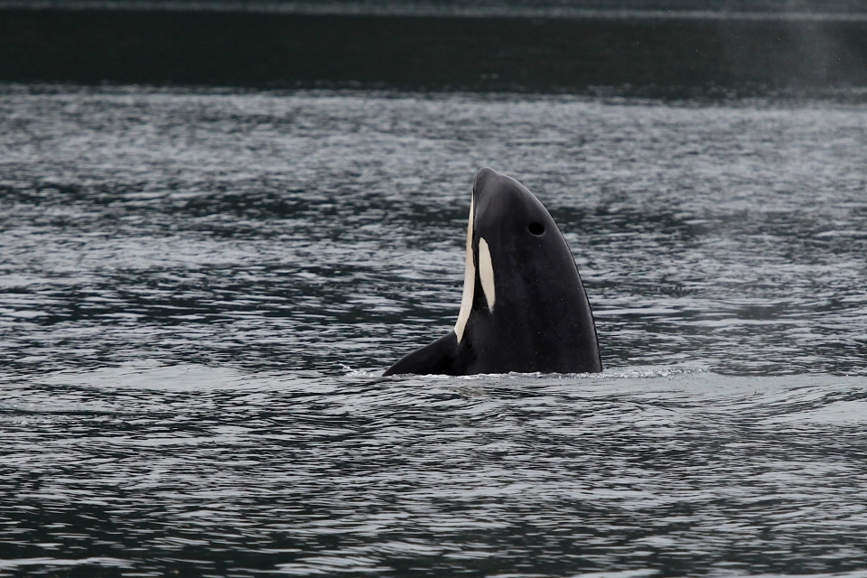 An orca puts it nose and face out of the water, called spy hopping