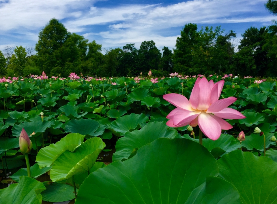 A pond full of pink lotus flowers at Kenilworth Park and Aquatic Gardens