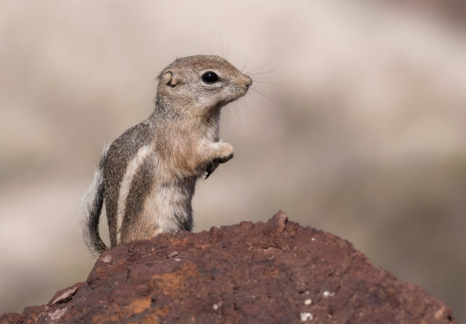 A close-up of a brown and white antelope ground squirrel on its hind legs at Lake Mead National Recreation Area