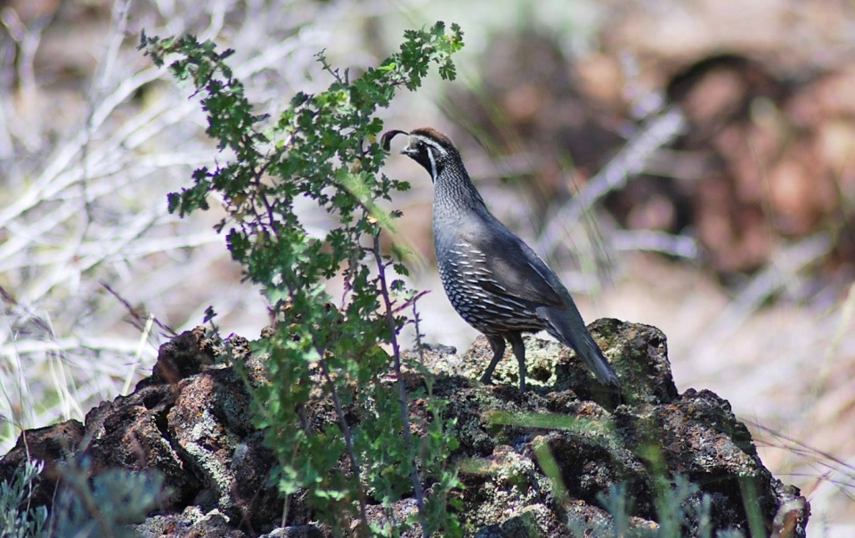 Brown and white California quail standing on a rock in the brush at Lava Beds National Monument