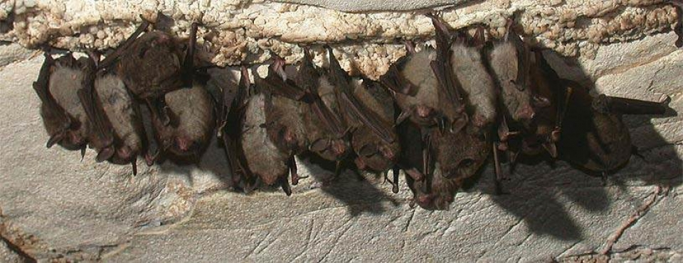Indiana bats huddled in a group hanging upside down at Mammoth Cave National Park