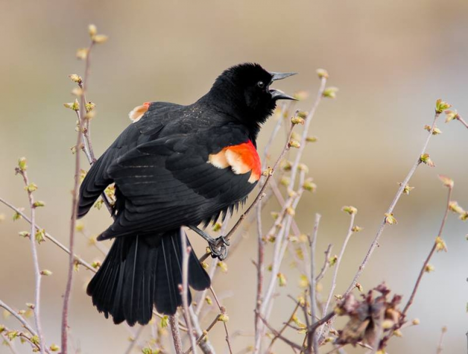 The back of a red-winged blackbird crowing at Mississippi National River and Recreation Area