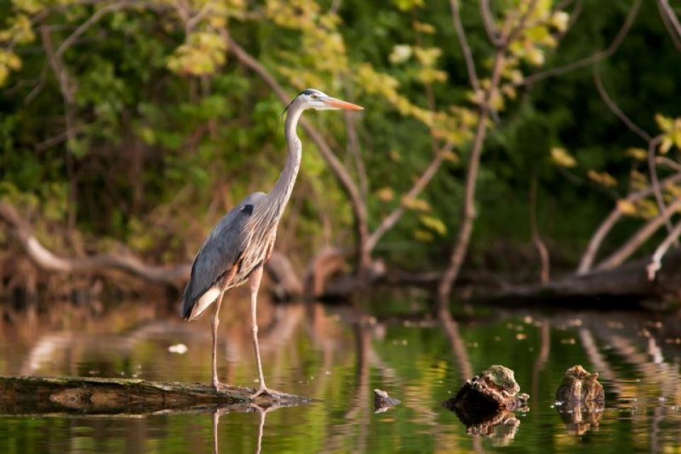 Great blue heron stands on the bank of a river
