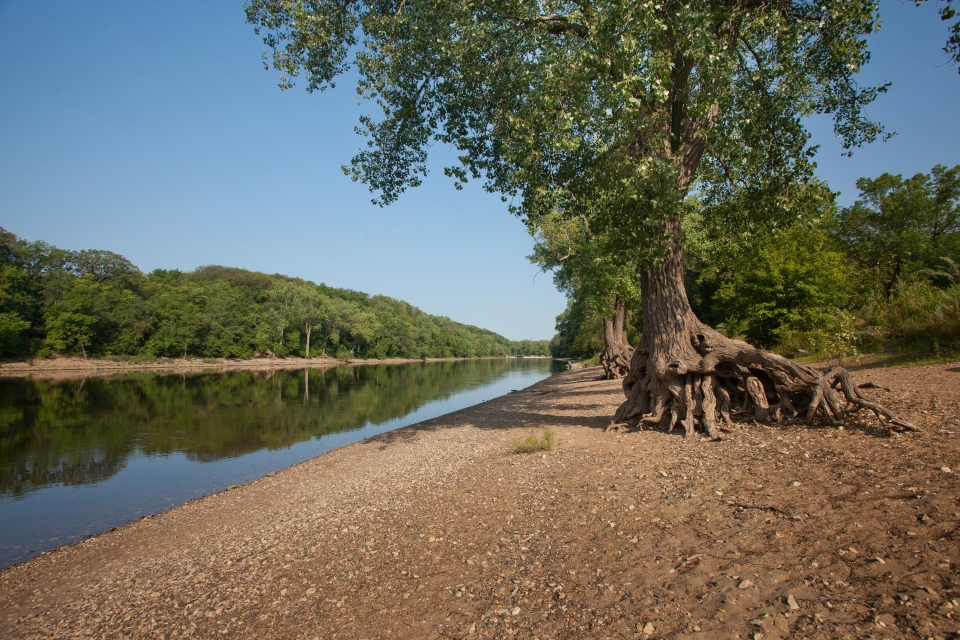 Trees with their tangled roots exposed by flood and boat wake erosion on a river shoreline