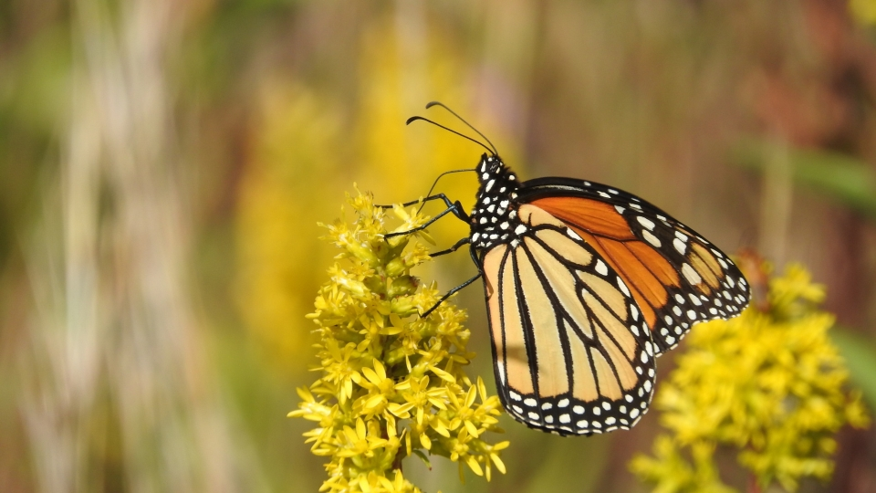 A monarch butterfly sits on top of a cluster of yellow flowers feeding