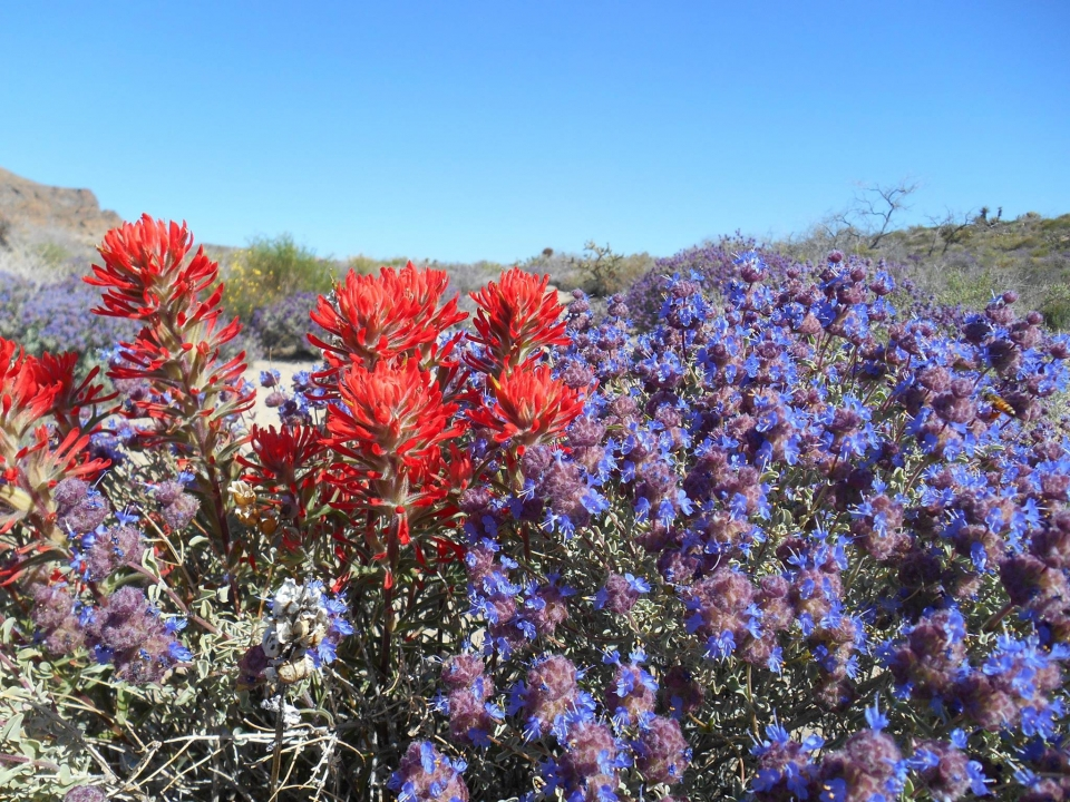 Red Indian paintbrushs blooming among purple desert sage in desert landscape at Mojave National Preserve.