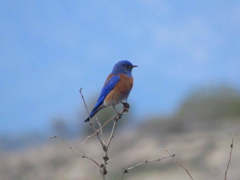 Red and blue Western Bluebird sitting on a branch at Montezuma Castle National Monument