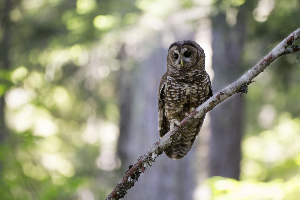 Brown and white spotted owl sitting on a branch at Mount Rainier National Park