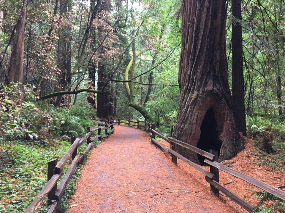 Wide trail covered in pine needles in a redwood tree grove at Muir Woods National Monument